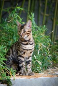 Young Bengal Cat sitting in Front of Bamboo Plant