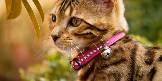 Bengal in the Garden wearing a pink Collar with Svarowski