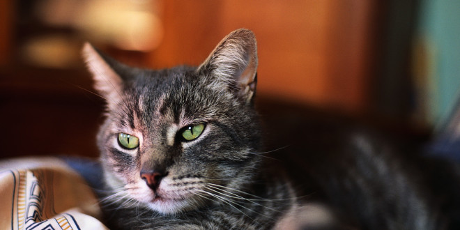 A Tabby Cat with Green Eyes