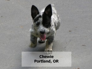 Chewie from Oregon